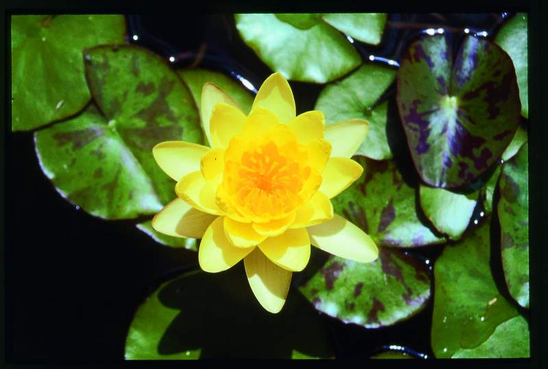 yellow water lily flower - photo #9